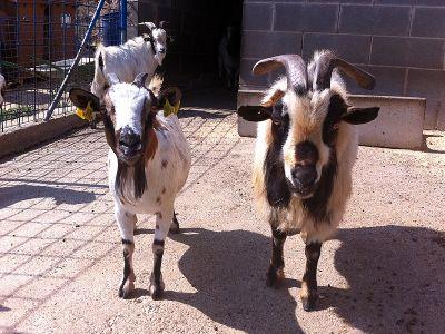 Cabres Africanes