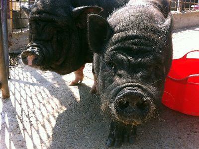 Porc Vietnamita