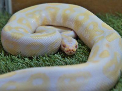 Pitó real albina